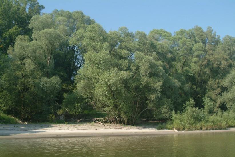 Die Donau bei Orth - ein Strand mit Bäumen im Hintergrund.