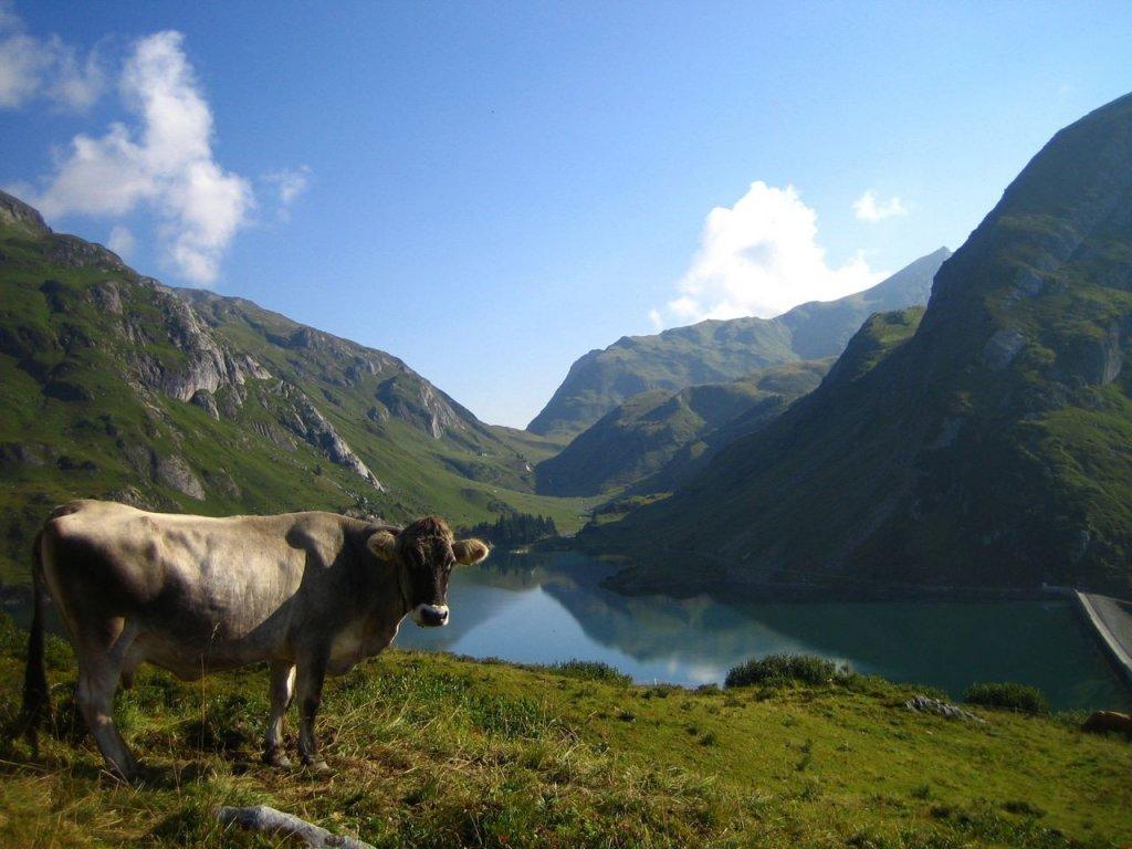 Ein Kuh vor dem Spullersee