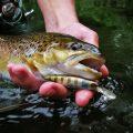 Kapitale Bachforelle angeln Nahaufnahme am Gewässer